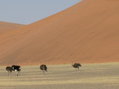 Dune_ostrich1103