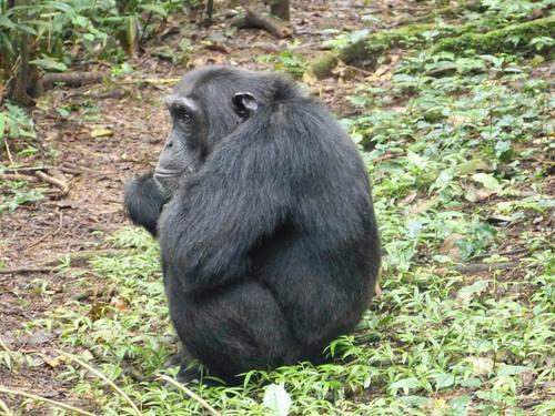 Chimp1303022