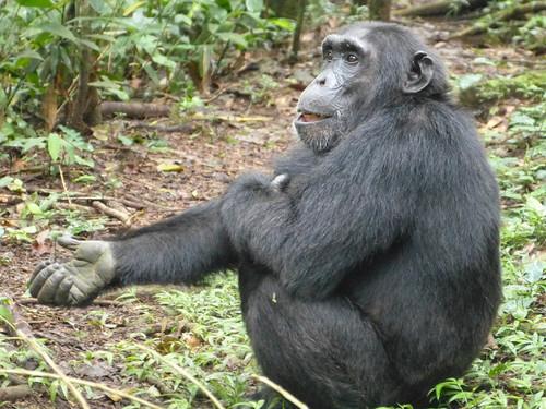 Chimp1303024_2