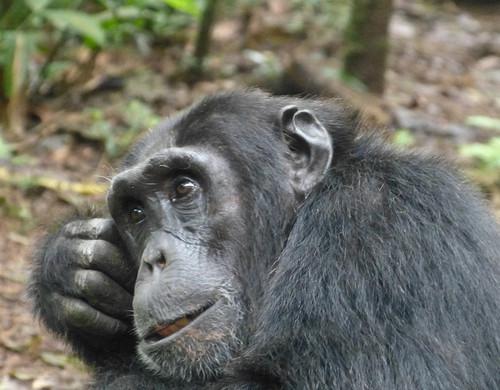 Chimp1303025