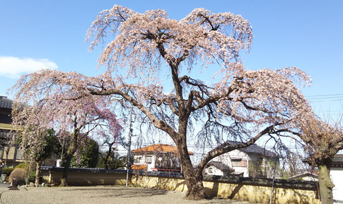 Sakura170407