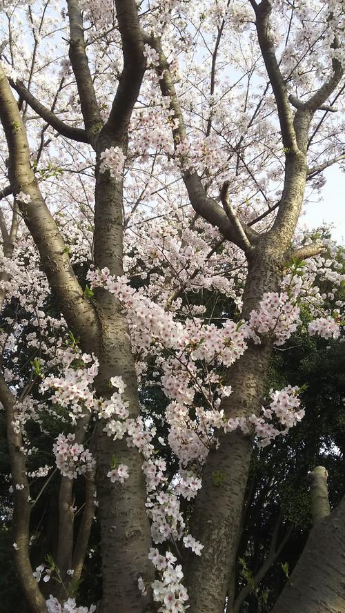 Sakura1803302