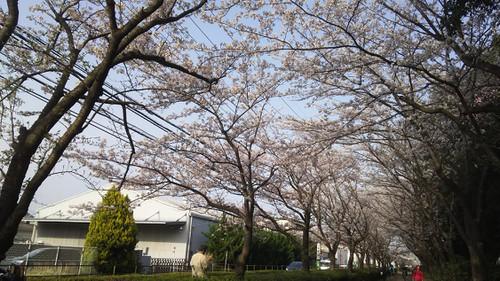 Sakura1803303
