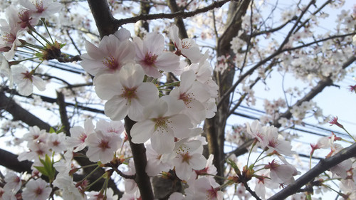 Sakura1803304