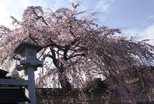 Sakura1903262