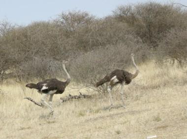 Ostrich1117