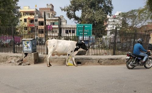 Cow200408