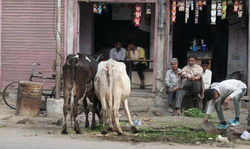 Cows200418
