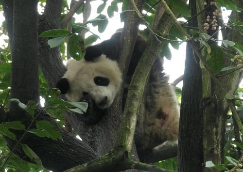 Panda1912071