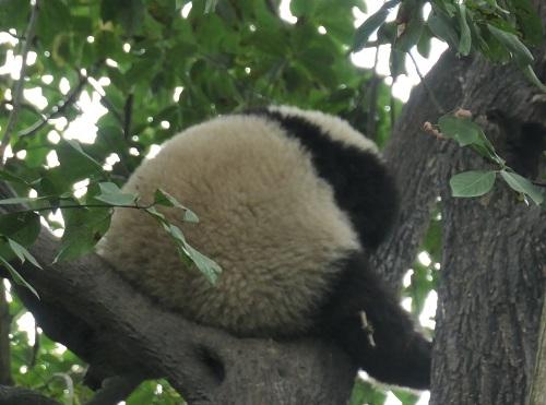 Panda1912072