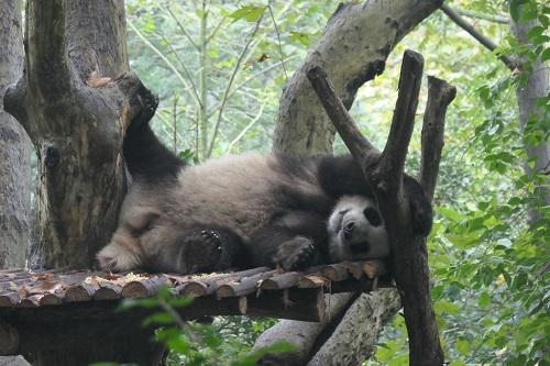 Panda1912074