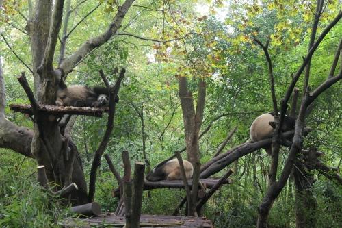Panda1912075